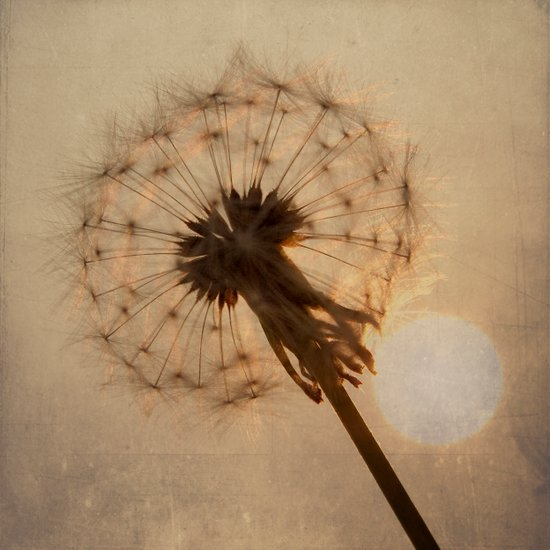 Dandelion Clock and Setting Sun Art Print