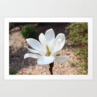 The Magnolia tree Art Print
