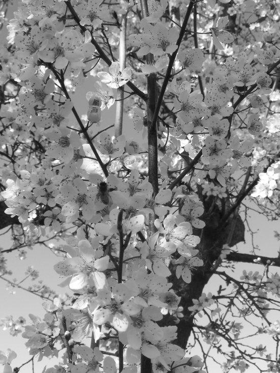 Places in Black & White: Plum Tree 10 Art Print