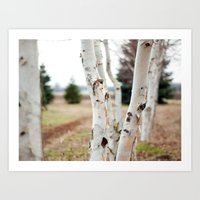 Line of Birches Art Print
