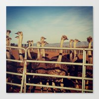 Canvas Print featuring Ostrich Farm by rachellam