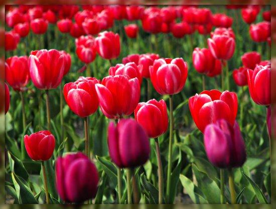 Tulip Love Art Print