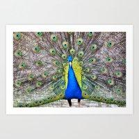 Peacock Display Art Print