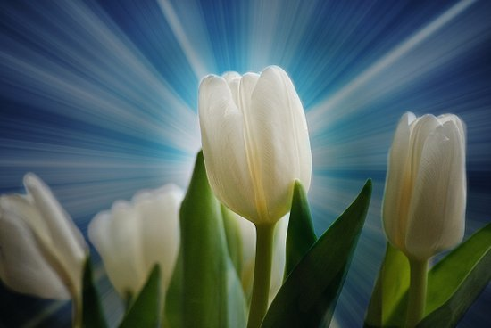 Tulpen Traum Art Print