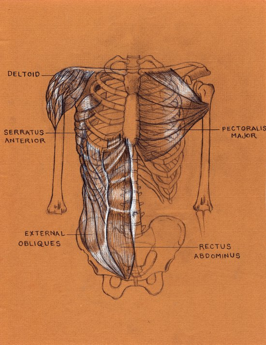 Jesse Young's Human Anatomy Drawing of The Muscles of the Torso (Circa 2005) Art Print