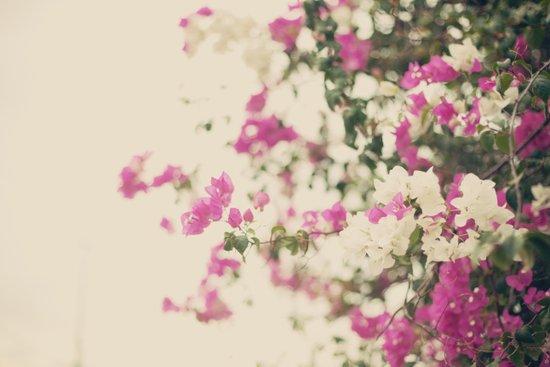 Buganvilas Flowers, Beige and Pink  Art Print