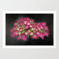 Hydrangea Blush Art Print