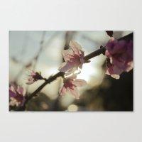 Peach Blossoms Canvas Print