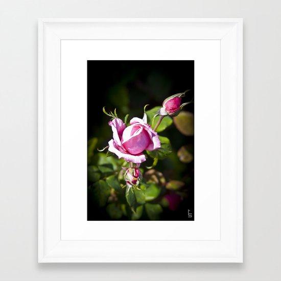 Pink Rose II Framed Art Print