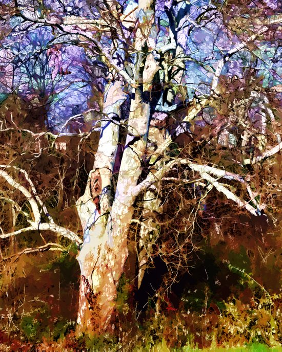 Old Sycamore tree Art Print