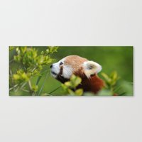 Red Panda 1 Canvas Print