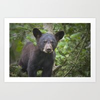 Black Bear Cub in Northern Minnesota Photograph Art Print