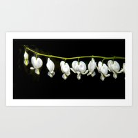 White bleeding hearts Art Print