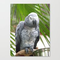 Grey Parrot  Canvas Print