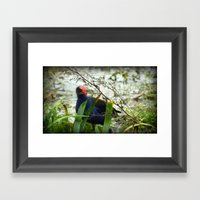 Swamp Hen - Porphyrio Po… Framed Art Print