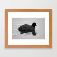 White Billed Duck Framed Art Print
