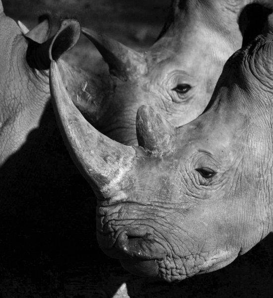 Rhinos Art Print