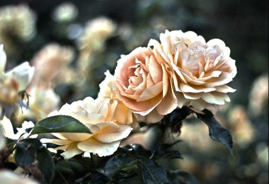 "Flower Art - Sunset Floral Print - Coral Pink, Peach, Yellow - Shabby Chic Art - "" Three Roses"" Art Print"