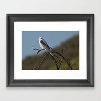 White-tailed Kite Framed Art Print