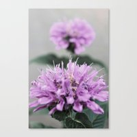 Porcupine Purple Canvas Print