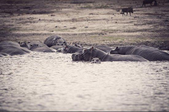Hippo pod Art Print