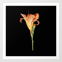 Orange Daylily Illustration Art Print