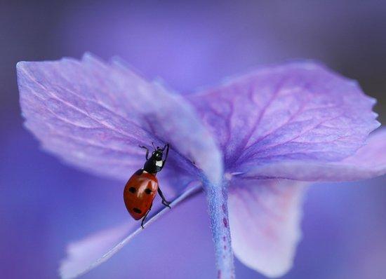 Ladybird on hydrangea Art Print