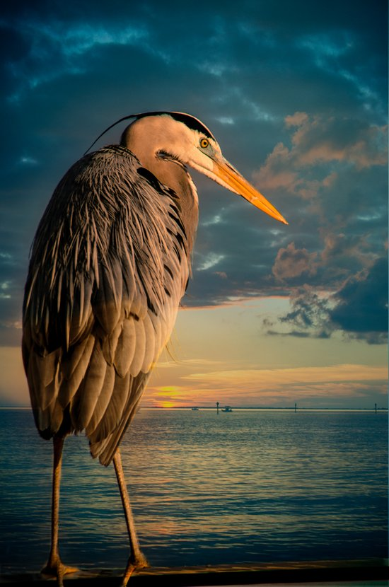 Great Blue Heron and Blue Sunset Art Print