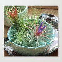 Tillandsia Ionantha in Bloom Canvas Print