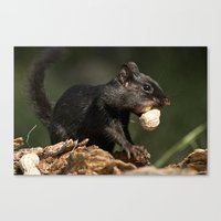 Black Chipmunk Canvas Print