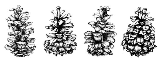 Pinecones Art Print