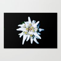 Single isolated Edelweiss flower bloom Canvas Print