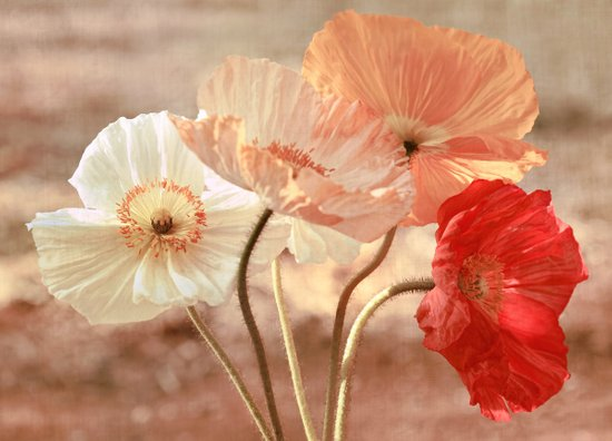 Poppies in Red, White & Peach Art Print