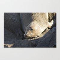 Elephant Seal: Contentment Canvas Print
