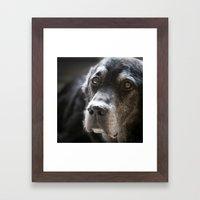 Old Labrador Portrait Framed Art Print