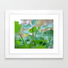Three Leaf Clover. Framed Art Print