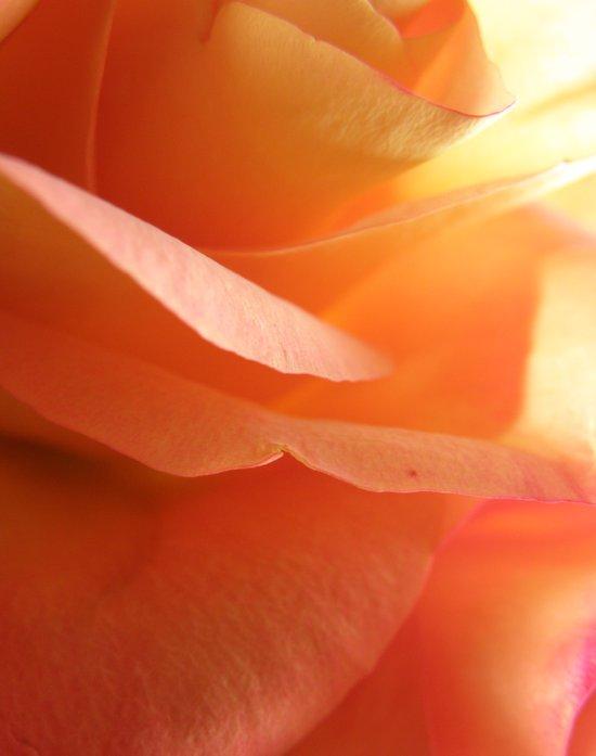 Two-Tone Roses #9 Art Print