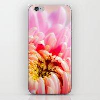 Pink Chrysanthemum Flower iPhone & iPod Skin