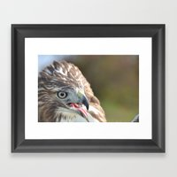 Red Tailed Hawk Close Up Framed Art Print