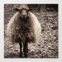Sheep Stare Canvas Print