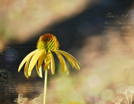 Yellow Echinacea Flower Art Print