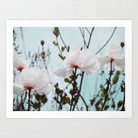 Matilija White Poppies Art Print