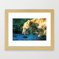 Lion Drinking Framed Art Print