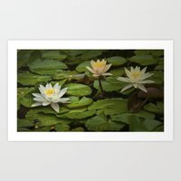 Lily Pads and Blossoms No 186 Art Print