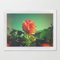 Spring Rose  Canvas Print