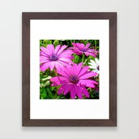 Purple And Pink Tropical Daisy Flower Framed Art Print
