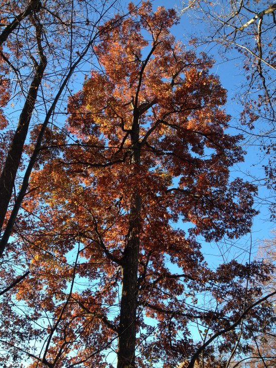 Oak Tree at Dawn Art Print
