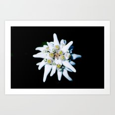 Single isolated Edelweiss flower bloom Art Print