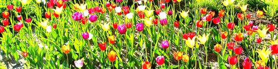 Tulips garden Art Print