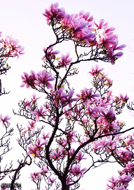 Pink Flower Tree Art Print